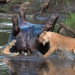 Great Maasai Mara. Watch this amazing fight between crocodiles, buffaloes and lions