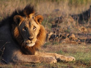 Two lions spotted in Kitengela KWS Chopper locating them