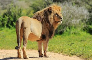 KWS announces another loose lion Spotted in Karen Hardy area. The KWS rangers, officers, police, have been sent to secure the lion. Nairobi National Park