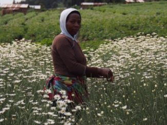 Pyrethrum flowers should be picked once in 2-3 weeks when the white petals (ray florets) are horizontal and about 3 rows of disc florets are open.